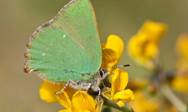 Why aren't there more green butterflies?